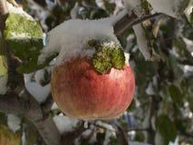 O gelo cobriu Apple Fotos de Stock