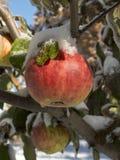 O gelo cobriu Apple Fotografia de Stock