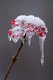 O gelo cobriu bagas Imagens de Stock