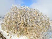 O gelo cobriu Bush com Autumn Leaves colorido Fotografia de Stock