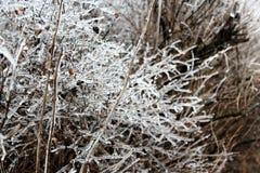 O gelo cobriu o arbusto Foto de Stock Royalty Free