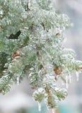 O gelo congelado cobriu o ramo de árvore do abeto do pinho no inverno Fotos de Stock Royalty Free