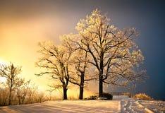 O gelo e a geada cobriram a árvore de carvalho na neve fria do inverno