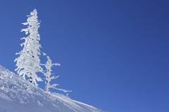 O gelo e a neve cobriram a árvore de pinho Fotos de Stock Royalty Free