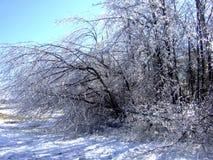 O gelo pesa para baixo árvores para dobrar-se imagens de stock royalty free