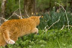O gengibre alaranjado coloriu a caça do gato na natureza verde Imagens de Stock Royalty Free