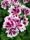 O gerânio do Pelargonium floresce com as pétalas brancas e roxas fotos de stock royalty free
