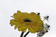 O gerber muito consideravelmente amarelo com as flores brancas fecha-se acima Fotografia de Stock Royalty Free