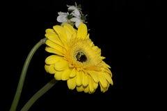 O gerber muito consideravelmente amarelo com as flores brancas fecha-se acima Foto de Stock