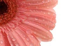 O gerbera cor-de-rosa com água deixa cair isolado Foto de Stock