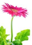 O gerbera cor-de-rosa de florescência da flor é isolado no fundo branco Fotos de Stock