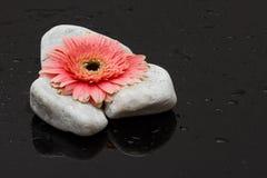 O gerbera cor-de-rosa que coloca nas rochas brancas e escuro molhou o reflecti de superfície Imagem de Stock