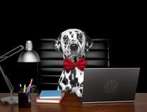O gerente dalmatian bonito do cão está fazendo algum trabalho no computador Isolado no preto foto de stock