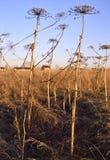 O gigante hogweed sosnovsky no campo foto de stock