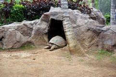 O gigantea de Aldabrachelys da tartaruga gigante rasteja fora da caverna Fotografia de Stock Royalty Free