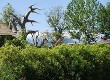 O girafa fotos de stock royalty free