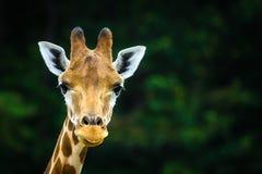 O girafa imagem de stock