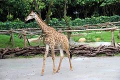 O girafa imagens de stock royalty free