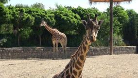 O girafa africano está estando no parque vídeos de arquivo