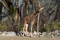 O girafa, camelopardalis do Giraffa ? um mam?fero africano fotografia de stock