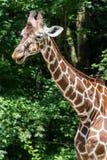O girafa, camelopardalis do Giraffa ? um mam?fero africano imagens de stock