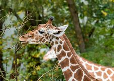 O girafa, camelopardalis do Giraffa ? um mam?fero africano fotos de stock