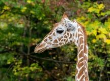 O girafa, camelopardalis do Giraffa ? um mam?fero africano fotos de stock royalty free