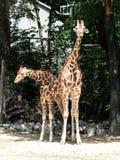 O girafa, camelopardalis do Giraffa ? um mam?fero africano imagem de stock