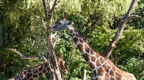 O girafa, camelopardalis do Giraffa ? um mam?fero africano foto de stock royalty free