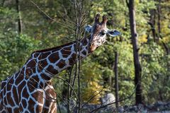 O girafa, camelopardalis do Giraffa ? um mam?fero africano foto de stock