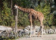 O girafa, camelopardalis do Giraffa ? um mam?fero africano fotografia de stock royalty free