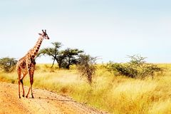 O girafa cruza a estrada no savana africano Safari Animals Fotografia de Stock