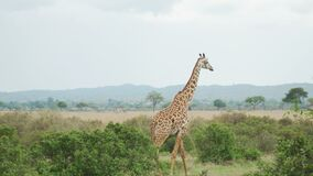 O girafa gracioso move-se atrás das árvores no savana filme