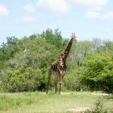 O girafa muito feliz muito agradável finge andar fotografia de stock