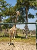 O girafa no parque foto de stock royalty free