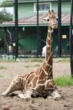 O girafa novo está encontrando-se na areia na perspectiva de uma construção verde fotos de stock royalty free
