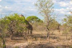 O girafa Reticulated selvagem e a paisagem africana em Kruger nacional estacionam em UAR Fotografia de Stock