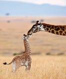 O giraffe da mamã beija seu filhote Foto de Stock Royalty Free