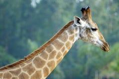 O giraffe no jardim zoológico fotografia de stock royalty free