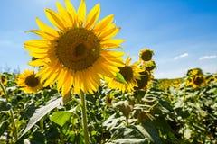 O girassol amarelo bonito está no campo murcho grande Foto de Stock