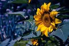 O girassol amarelo contrastou com obscuridade - fundo azul Fotografia de Stock