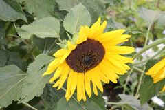 O girassol amarelo da flor exulta o verão flor amarela do chrysontemus em um fundo verde isolado fotografia de stock