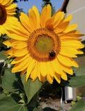 O girassol com a tropeça a abelha sobre ele foto de stock royalty free