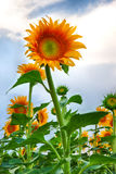 O girassol cresce no campo Foto de Stock Royalty Free