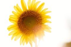 O girassol da flor com tarde imagem de stock royalty free