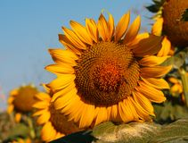 O girassol de florescência com um fim da abelha acima foto de stock royalty free
