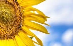 O girassol e os insetos fecham-se acima do fundo das flores da natureza Fotografia de Stock