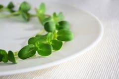 O girassol fresco verde brota - o conceito para a nutrição saudável, c fotografia de stock