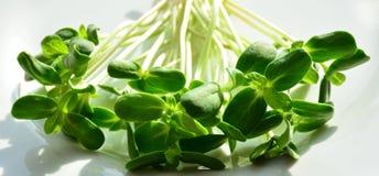 O girassol fresco verde brota - o conceito para a nutrição saudável, c foto de stock