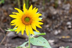 O girassol novo é crescente e de florescência belamente viver fotografia de stock royalty free